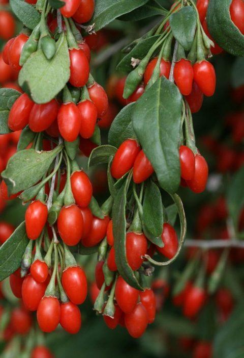 ripen goji berry recipes